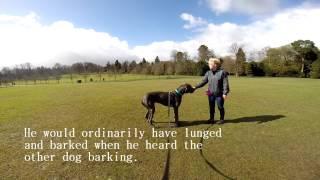 Drako - Great Dane - Dog Reactivity