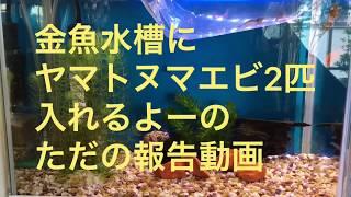 金魚水槽にヤマトヌマエビ2匹入れる報告です。 thumbnail