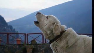 Hermosos perros aullando