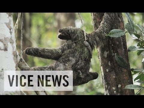Disease-Curing Sloths in Panama (Teaser)