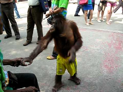 Orangutan, Thailand Zoo