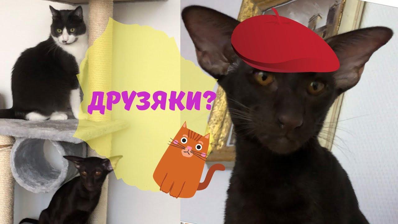 Ориентал ? l Смешные коты l Проделки ориентала