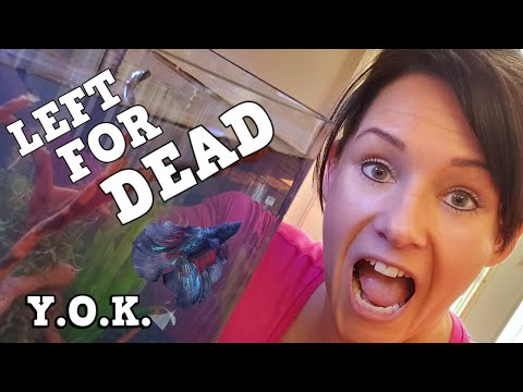 This Betta Was Going To Die! You Oughta Know How We Saved A Betta From Certain Death!
