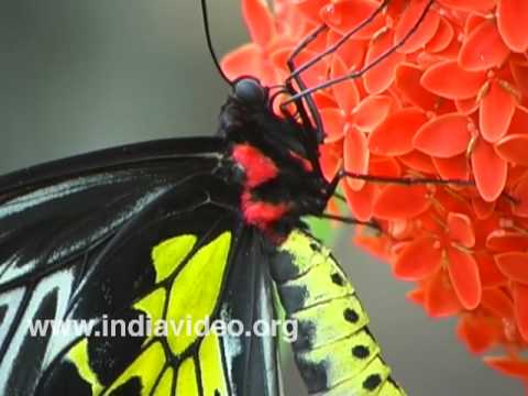 Southern Birdwing or Troides minos