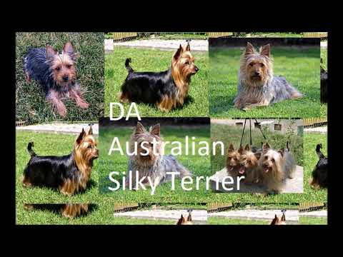 DA Australian Silky Terrier