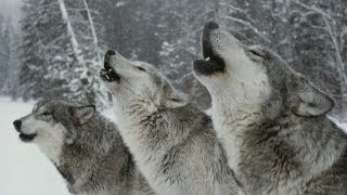 The Hidden Lives of Wolves