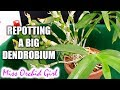 Repotting one of my oldest Orchids - a big Dendrobium!