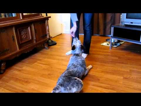 Training With a Blue Heeler Puppy