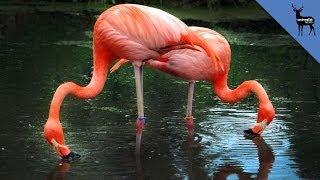 Bizarre Reasons Flamingos Eat Upside Down