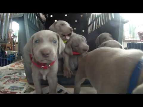 Weimaraner puppies four weeks old. Cutest puppy video EVER!!!