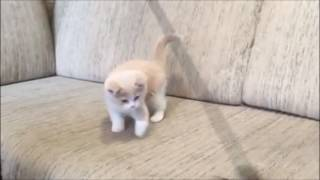 Сладкий мальчик кремовый биколор - Лео! Британский котенок. Настоящий британец!