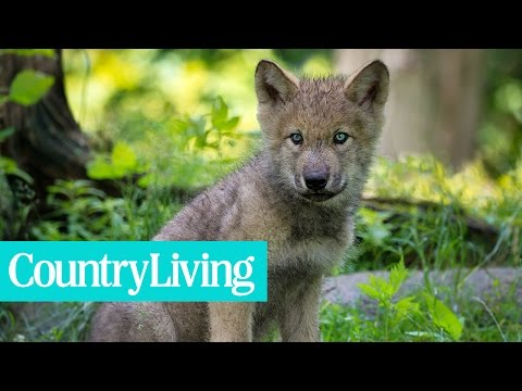 This Adopted Puppy Turned Out to Be a Wolf Dog | Country Living