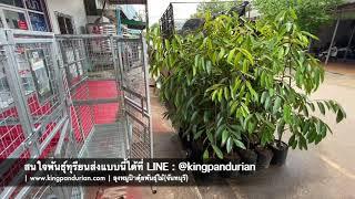การจัดส่งต้นพันธุ์ทุเรียน ลงกรงไปรษณีย์ไทย | ลุงหมูป้าตุ้ยพันธุ์ไม้