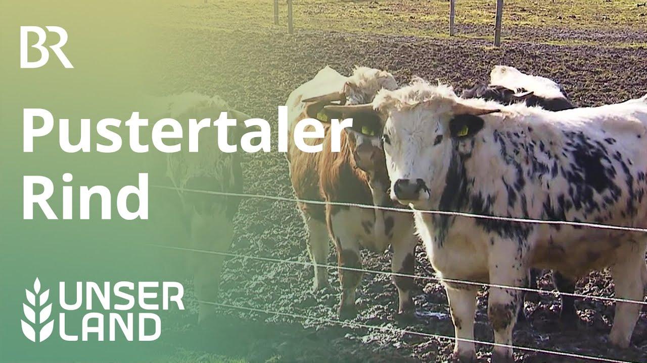Vom Aussterben bedroht - das Pustertaler Rind | Unser Land | BR Fernsehen