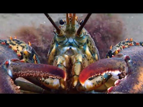Breeding Lobsters At War | Blue Planet | BBC Earth