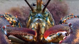 Breeding Lobsters At War | Blue Planet | BBC Earth