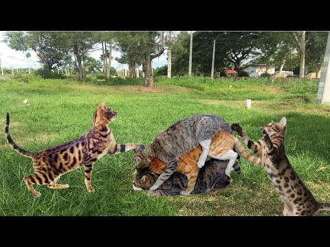 Amazing Cat Meeting to Breds in Cambodia