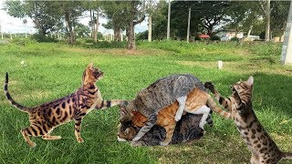 Amazing Cat Meeting to Breds in Cambodia