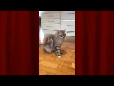 Cute Siberian cat doing tricks