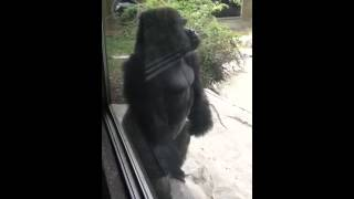 Angry Gorilla! Gorilla At Omaha Zoo Gets Mad At Me And Hits Glass