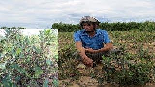 Cười chê anh nông dân lụi cục lên rừng đào Sim dại về trồng, 1 năm sau ai cũng thèm như vậy