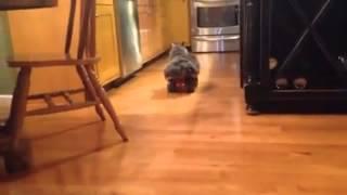 Cat Rides Dump Truck