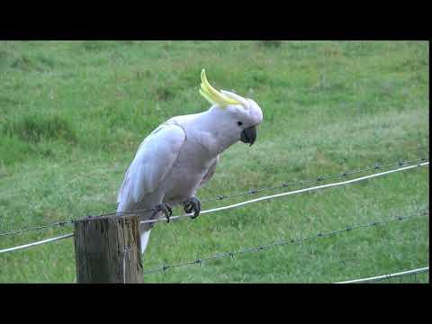 Australia Sulphur Crested Cockatoo on a wire