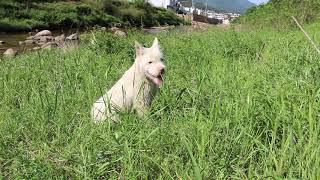河边遛狗,偶遇小羊羔,追逐嬉戏,快乐的下司犬田园犬.