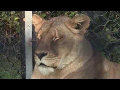 Elsa the Lioness Rescue