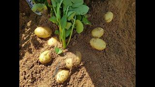 طريقة زراعة البطاطس في المنزل باحتراف وانتاج لامثيل له وتعليم الاطفال الزراعة