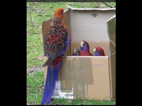 BIRDS IN MY BACKYARD / (P8) Rescued Baby Birds Released - Crimson Rosellas