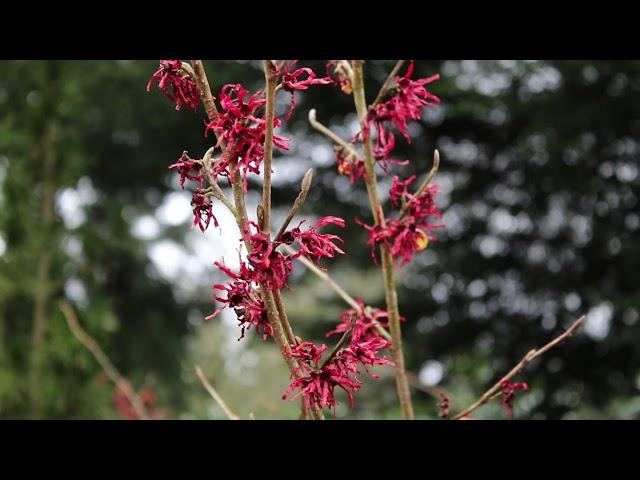 1 minuut natuur: toverhazelaar - hamamelis - witch-hazel - Zaubernuss