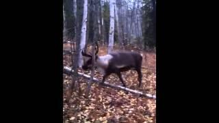 Reindeer walk