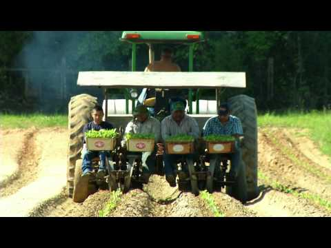 Planting Tobacco In Clemmons, North Carolina