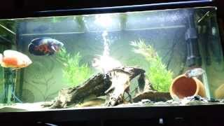 feeder fish for Oscar flowerhorn and green terror