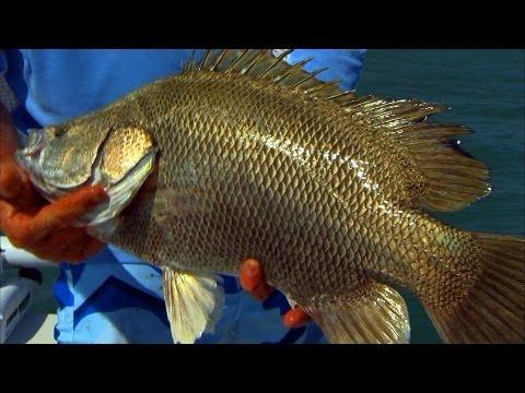 Texas tripletail doovi for Triple tail fish recipes