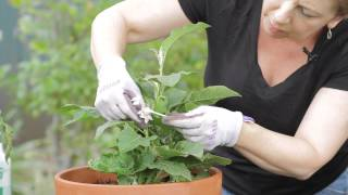 How to Pollinate Eggplant : Garden Space