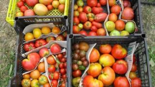 профессиональные семена(Редкие семена помидор! Семена почтой http://фечшоп.рф., 2015-10-26T16:08:28.000Z)