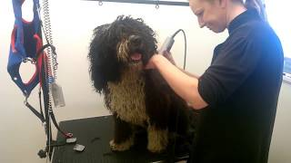 Spanish Water Dog annual clip