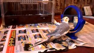 Корелла говорит и поет/Говорящий попугай Корелла(Сотрудничество, Добавление в рекомендованные Интересные каналы,в кладка на главной странице канала,уви..., 2013-11-22T08:12:04.000Z)