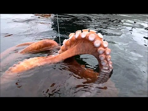 Amazing Hunting Giant Octopus Underwater, Diving Under The Sea To Catch Big Octopus!!!
