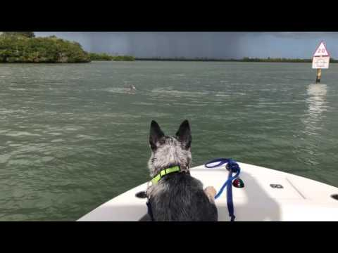 Blue Heeler Tries to Jump In River to Swim with Dolphin