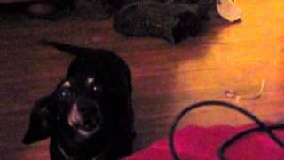 My Dachshund Toby Loving Glee By Nichole337