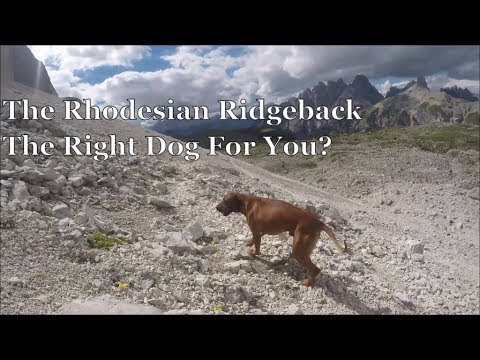 The Rhodesian Ridgeback - The Right Dog For You?