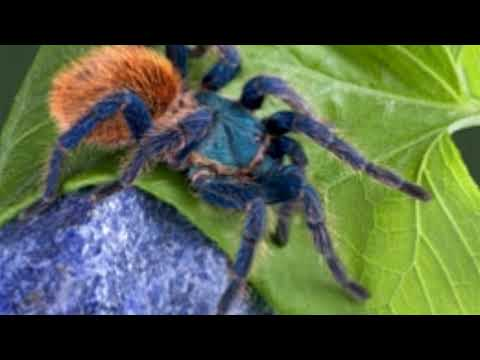 9 Remarkably Intriguing Facts About the Cobalt Blue Tarantula