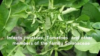 Agriculture A virus (PLRV) is devastating potato crops