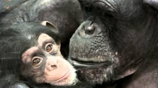 Love.Too Cute!Baby Chimpanzee and mom.子供が可愛くて仕方のない母チ...