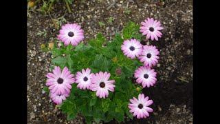 我が家の愛しい花たち! オステオスペルマム おもに南アフリカに分布す...