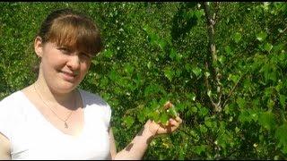 Березовые листья - Лекарственные травы. Лекарственные свойства березовых листьев.
