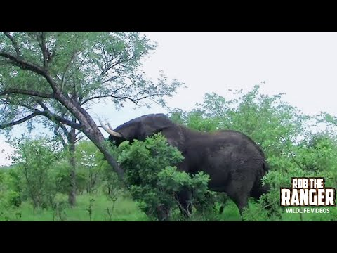 African Elephant Fells Tree - Display of Strength and Power!